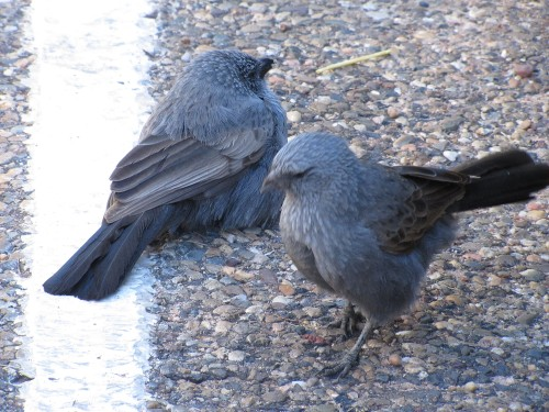 Apostlebirds, Western Plains Zoo, Dubbo