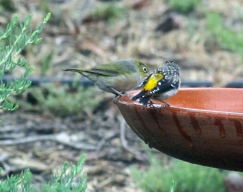 Silvereye and Spotted Pardalote