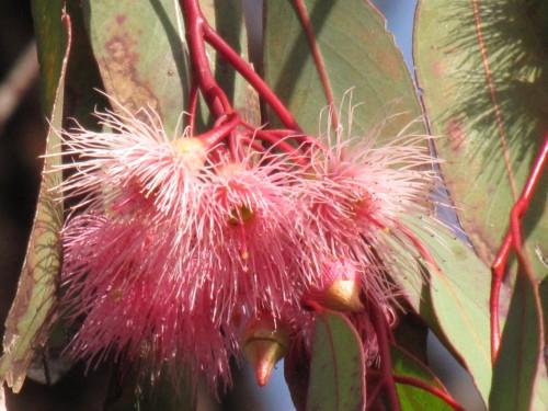 Eucalyptus sideroxylon rosea  - Red Ironbark