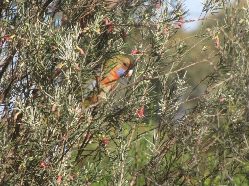 Adelaide Rosella feeding on Eremophila youngii