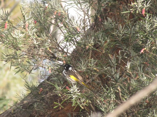 New Holland Honeyeater feeding on Eremophila youngii