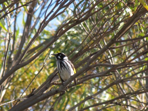 New Holland Honeyeater at Browns Road Monarto