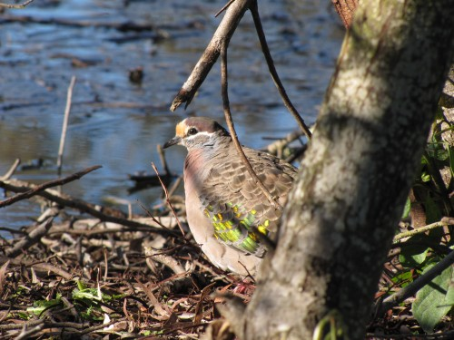 Common Bronzewing, Laratinga Wetlands