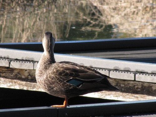 Pacific Black Duck, Laratinga Wetlands, Mt Barker