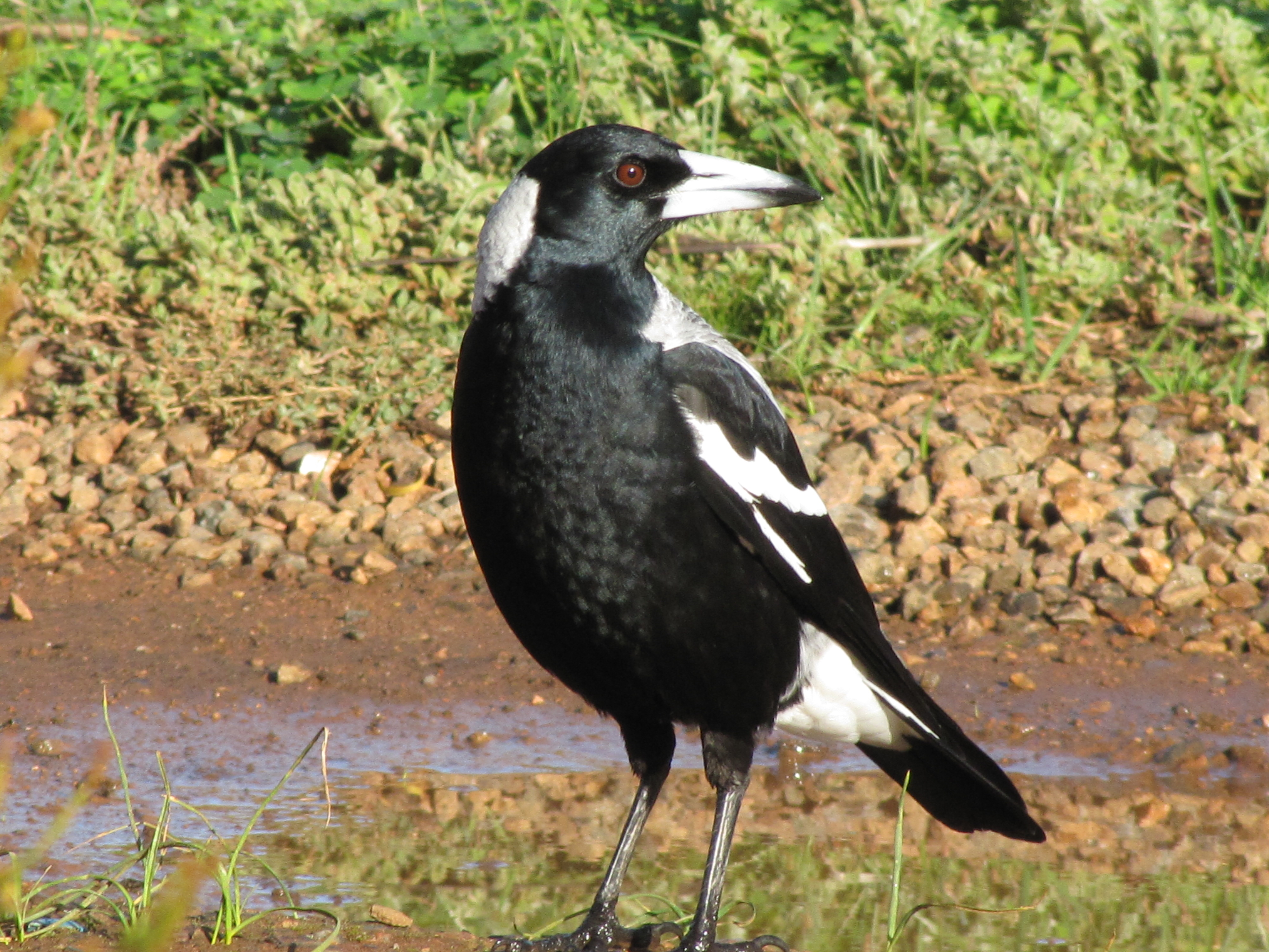 When Magpies Attack! // Six Tips to Avoid Swooping Magpies ...  |Australia Swooping Birds Sign