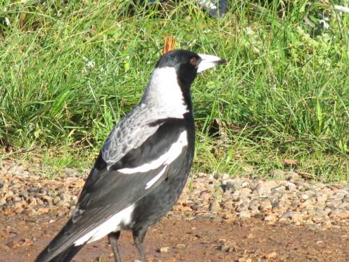 Australian Magpie (male)