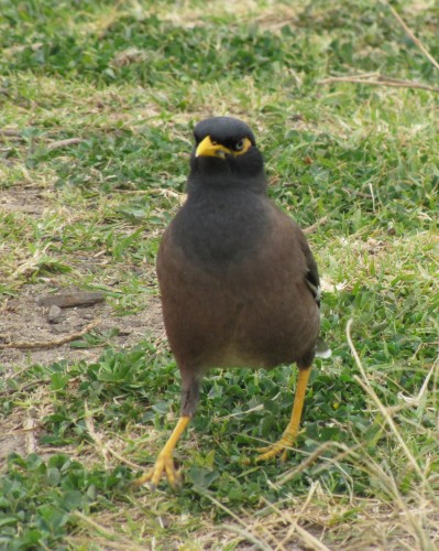 Common Myna, Long Reef, Sydney