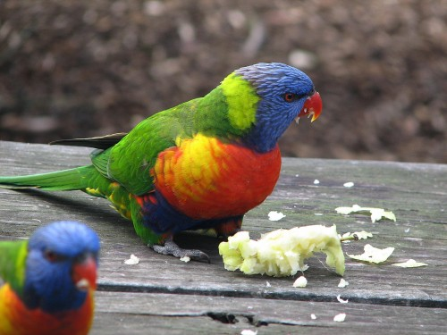 The Rainbow Lorikeet was the most reported bird in the 2014 count