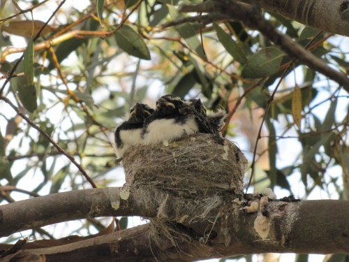 Baby Willie Wagtails in a nest