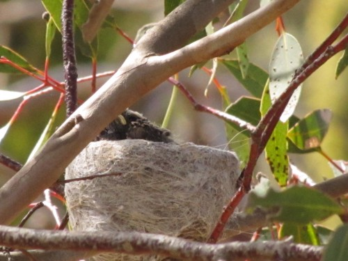 Willie Wagtail nest