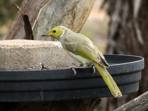 White -plumed Honeyeater at our bird bath