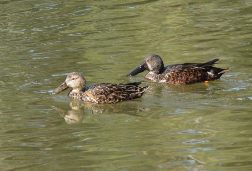 Australasian Shoveler (female left, male right)