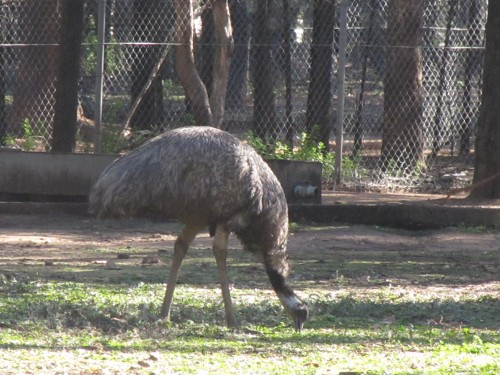 Emu at Western Plains Zoo, Dubbo