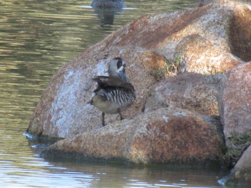 Pink-eared Duck, Western Plains Zoo, Dubbo