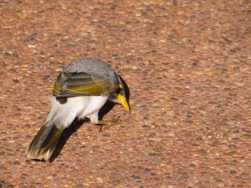 Yellow-throated Miner, Western Plains Zoo, Dubbo