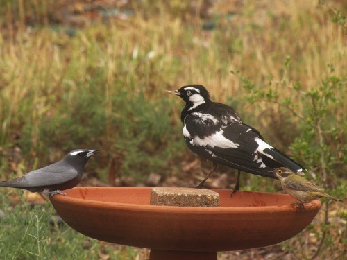 White-browed Woodswallow (L), Magpie Lark (centre), Brown-headed Honeyeater (R)