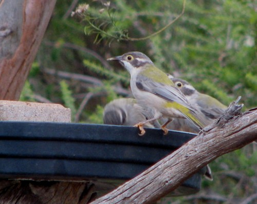 Brown Headed Honeyeaters