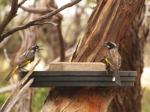 New Holland Honeyeaters at our bird bath