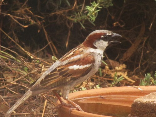 Male House Sparrow at our bird bath