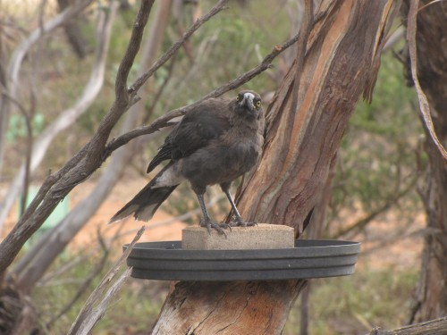 Juvenile Grey Currawong