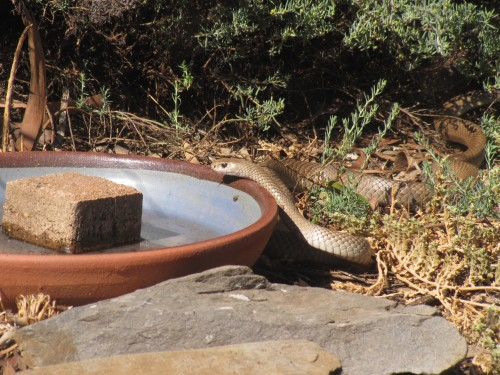 Brown Snake at our bird bath