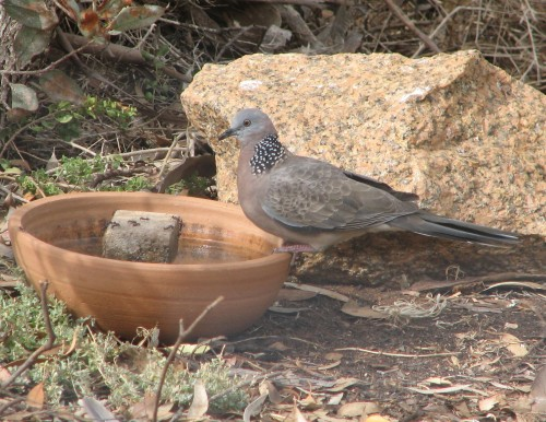 Spotted Turtledove