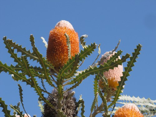 Banksia flowers at Pangarinda