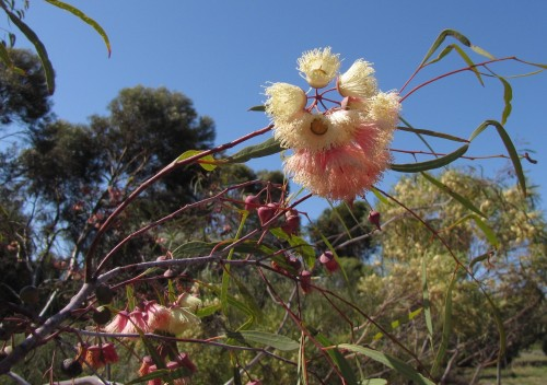 Eucalypt flowers at Pangarinda