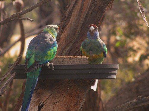 Mallee Ringneck parrot at our bird bath