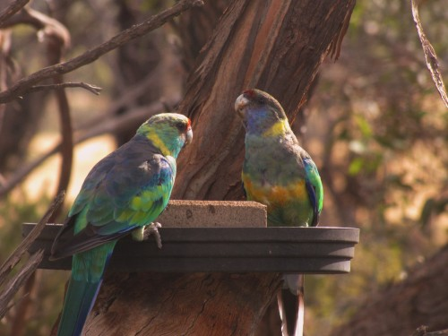 Mallee Ringneck parrots at our bird bath