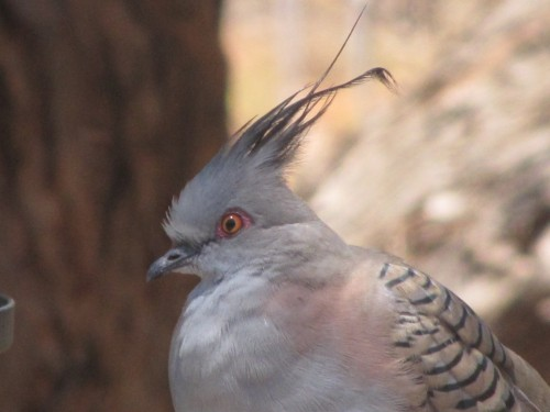 """Topsy"" the Crested Pigeon"