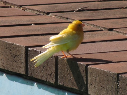 Canary in our garden