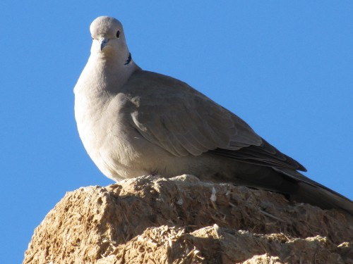 Eurasian Collared Dove at Merzouga, Morocco