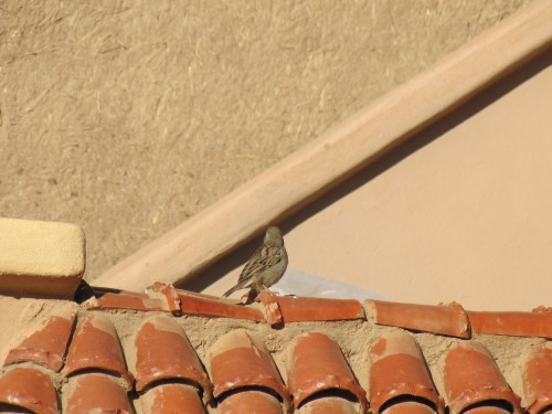House Sparrow at Merzouga, Morocco