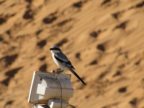 Southern Grey Shrike Morocco