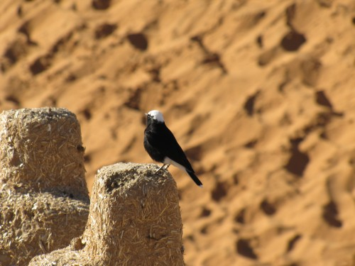 White-crowned Black Wheatear in Merzouga, Morocco