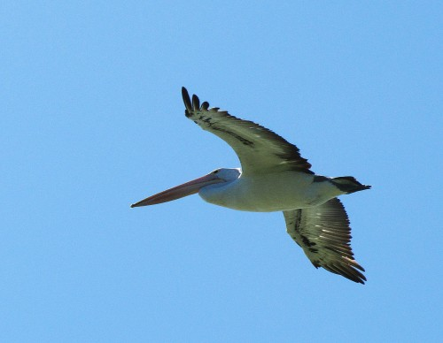 Pelican over Lake Alexandrina, South Australia