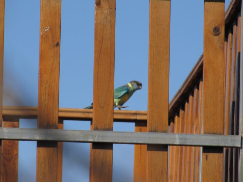 Mallee Ringneck, Peterborough South Australia