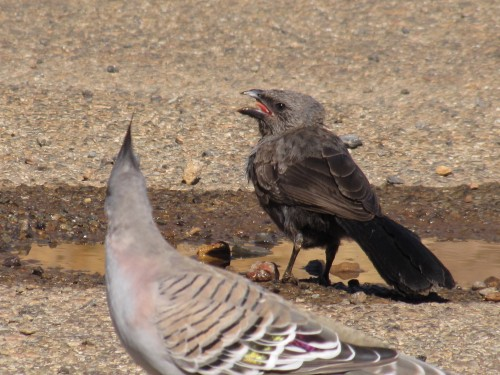 Apostlebirds just puddling around