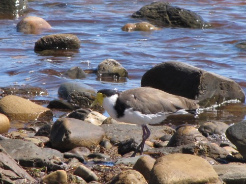Masked Lapwing - well camouflaged