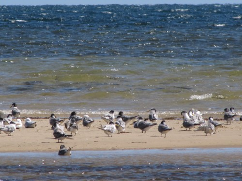 Terns and Gulls at Brighton Beach, South Australia