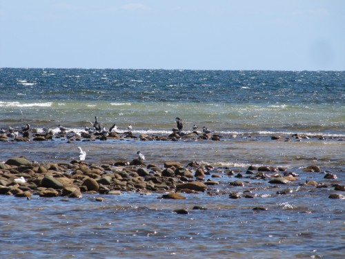 Cormorants, terns and gulls