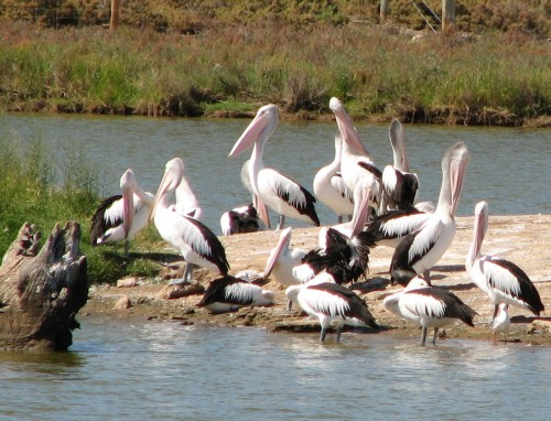 Australian Pelicans, Murray Bridge