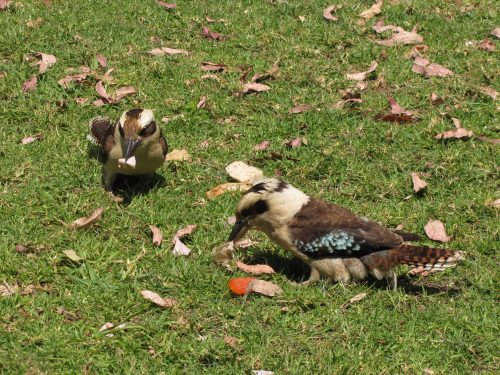 Laughing Kookaburras enjoying our lunch