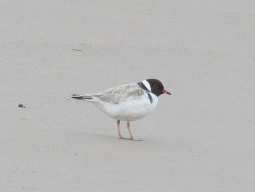 Hooded Plover, Victor Harbor