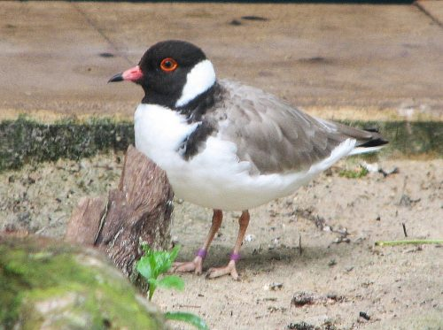 Hooded Plover, Adelaide Zoo