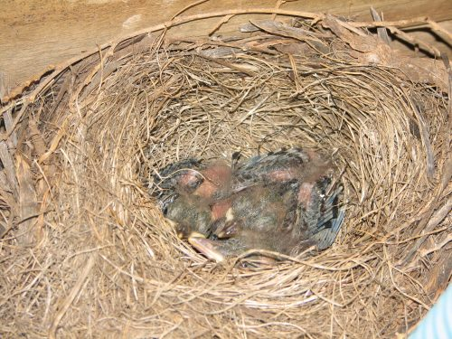 Baby Common Blackbirds in nest