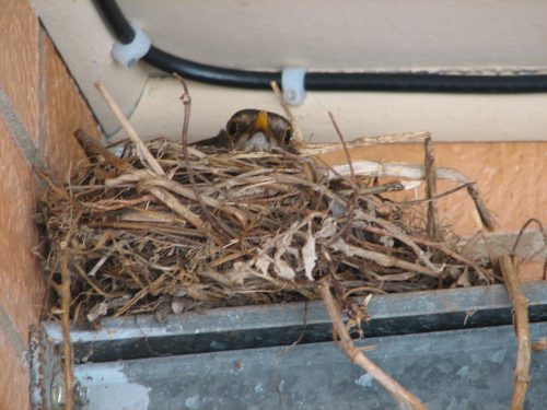 Common Blackbird sitting on nest