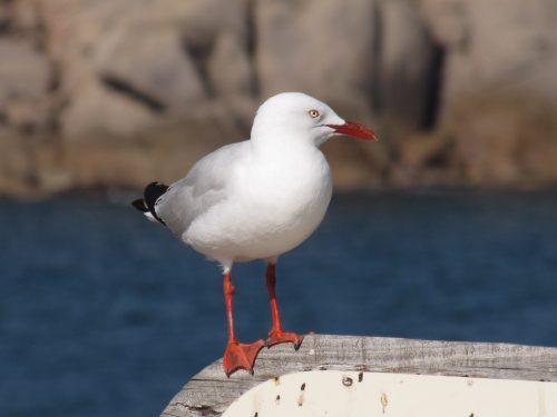 Silver Gull, Pt Elliot, South Australia