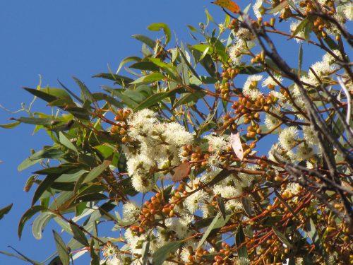 Eucalyptus dumosa (a mallee species)
